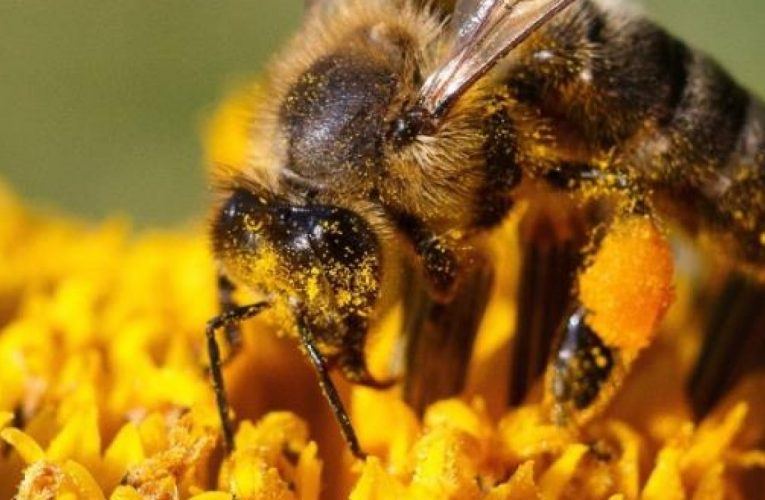 [蜂蜜資訊] 長期食用蜂花粉的身體助益